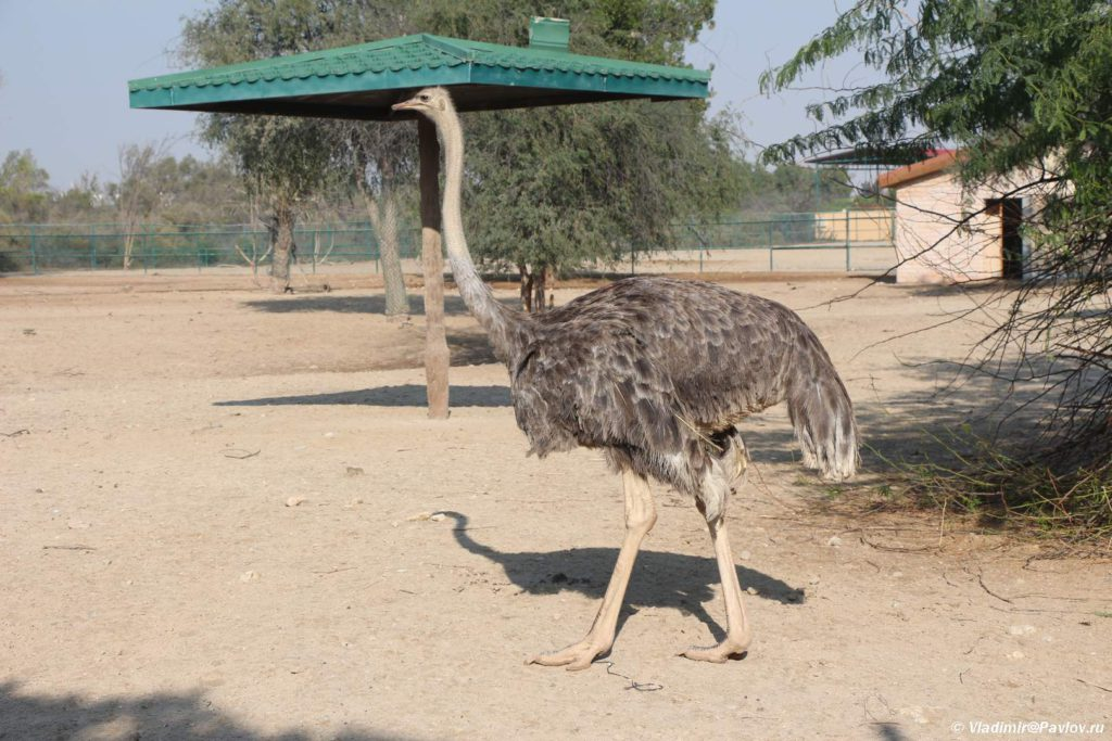 Afrikanskij straus. Prirodnyj park Al Arin. Al Areen Wildlife Park. Bahrain 1024x683 - Парк дикой природы Аль-Арин (Al Areen Wildlife Park) 2. Бахрейнский Зоопарк