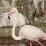 Bahrejn. Gordyj rozovyj flamingo. Prirodnyj park Al Ariin. Al Areen Wildlife Park. Bahrain 150x150 - Розовые фламинго в Бахрейне. Природный парк Аль-Арин. Al Areen Wildlife Park