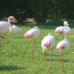 Bahrejn. Rozovye flamingo v zooparke Al Arin. Al Areen Wildlife Park. Bahrain 150x150 - Природный парк Аль-Арин. Al Areen Wildlife Park. Бахрейнский Зоопарк
