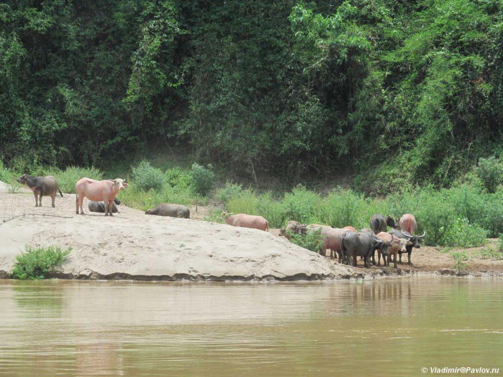 Bujvoly na beregu Mekonga. Laos 1024x768 - Круиз на лодке по Меконгу