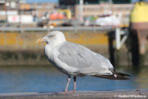 CHajka terpelivo zhdet kogda i ee pokormyat Ostende 300x200 - Бельгия. Остенде (Ostende). Бельгия с палаткой. 12