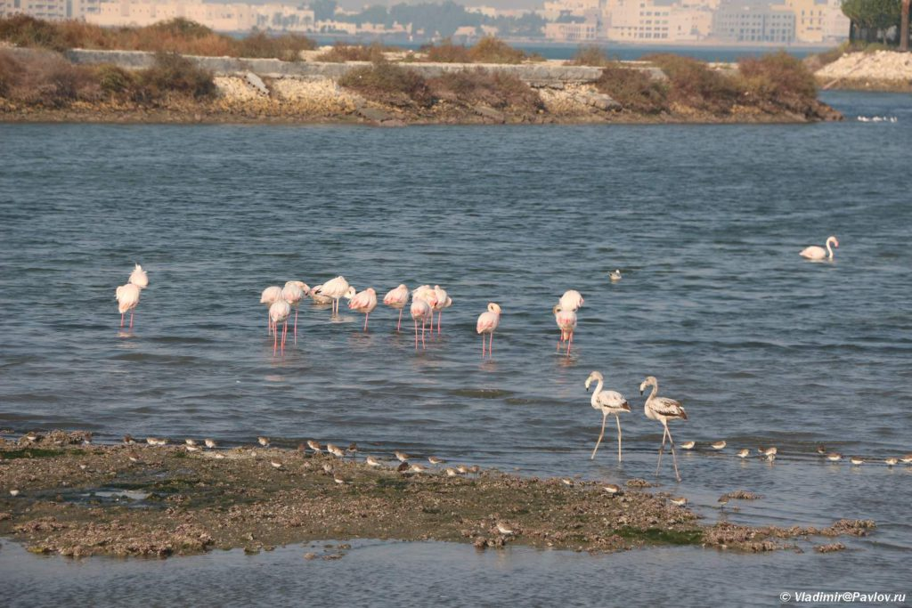 Dikie rozovye flamingo v prolivah mezhdu ostrovami. Bahrejn 1024x683 - Экскурсии в Бахрейне. Самостоятельное путешествие по Бахрейну.