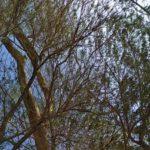 Dostoprimechatelnost Bahrejna. Derevo ZHizni v pustyne Bahrejna. Tree Of Life. Bahrain 150x150 - Древо Жизни в пустыне Бахрейна. Tree Of Life
