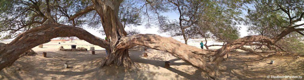 Dostoprimechatelnost Bahrejna. Derevo ZHizni v pustyne. Tree Of Life. Bahrain 1024x272 - Древо Жизни в пустыне Бахрейна. Tree Of Life