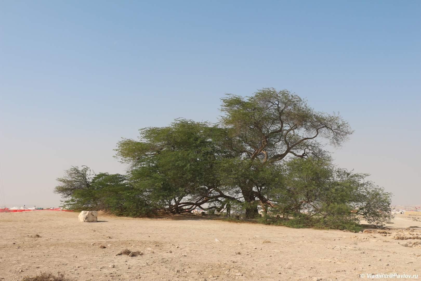 Dostoprimechatelnost Derevo ZHizni v pustyne Bahrejna. Tree Of Life. Bahrain - Древо Жизни в пустыне Бахрейна. Tree Of Life