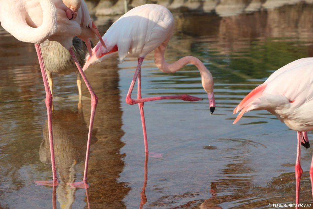Flamingo s legkostyu stoyat na odnoj noge. Prirodnyj park Al Arin. Al Areen Wildlife Park. Bahrain 1024x683 - Розовые фламинго в Бахрейне. Природный парк Аль-Арин. Al Areen Wildlife Park
