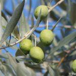 Grecheskie olivki 150x150 - Мечты сбываются