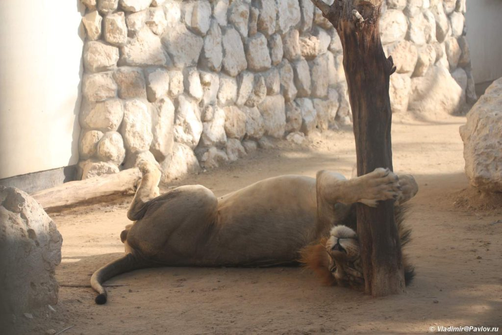 Lev. Prirodnyj park Al Ariin. Al Areen Wildlife Park. Bahrain 1024x683 - Парк дикой природы Аль-Арин (Al Areen Wildlife Park) 2. Бахрейнский Зоопарк