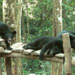 Medvedi v zooparke Luang Prabanga u vodopada 150x150 - Окрестности Луанг Прабанг. Пещера Пхалуеси (Phaluesi Cave). Водопад Пху Си (Phu Si Waterfall)