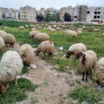 Milye barashki pasutsya v Ammane. Amman Jordan 150x150 - Столица Иордании Амман. Amman, Jordan.