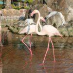 Odin iz shesti vidov flamingo Rozovyj. Prirodnyj park Al Arin. Bahrejn. Al Areen Wildlife Park. Bahrain 150x150 - Розовые фламинго в Бахрейне. Природный парк Аль-Арин. Al Areen Wildlife Park