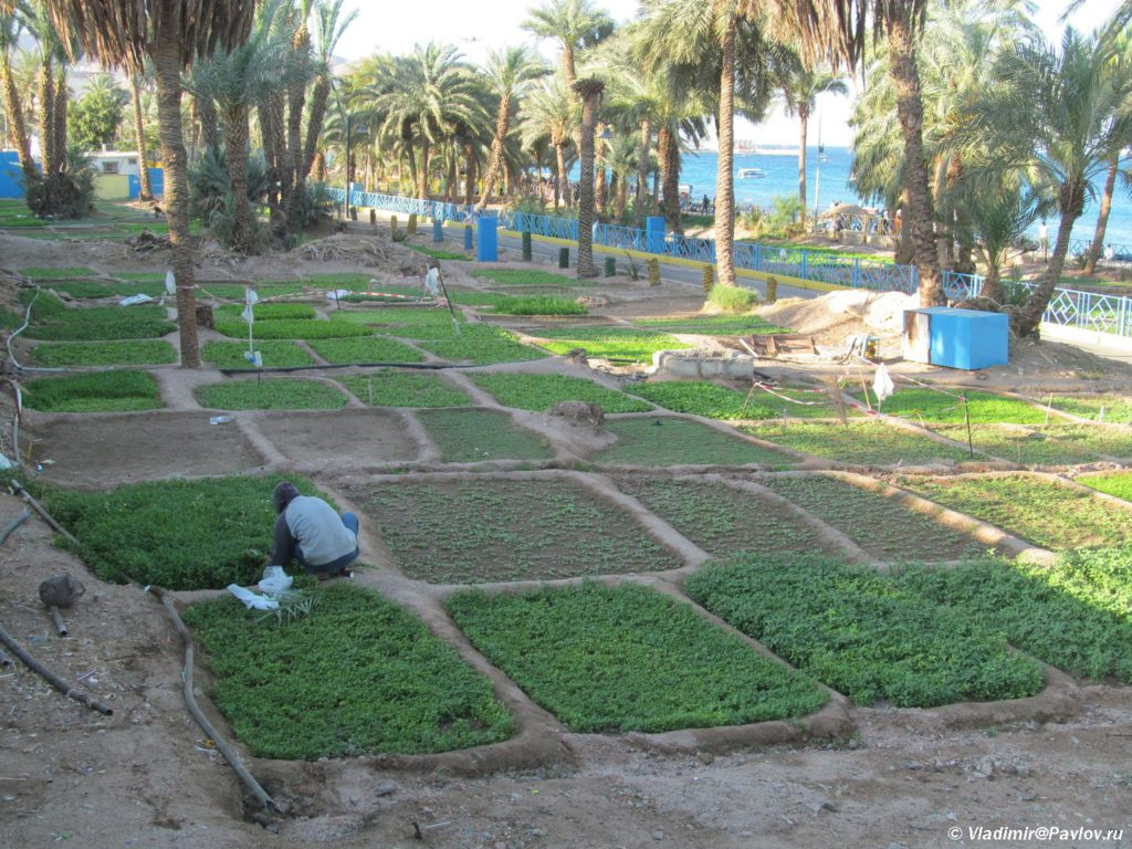 Ogorod na meste raskopok v Akabe. Snabzhaet sosednie restorany i kazhe. Iordaniya. Aqaba. Jordan 1024x768 - Акаба (Al Aqabah). Иорданский курорт на Красном море.