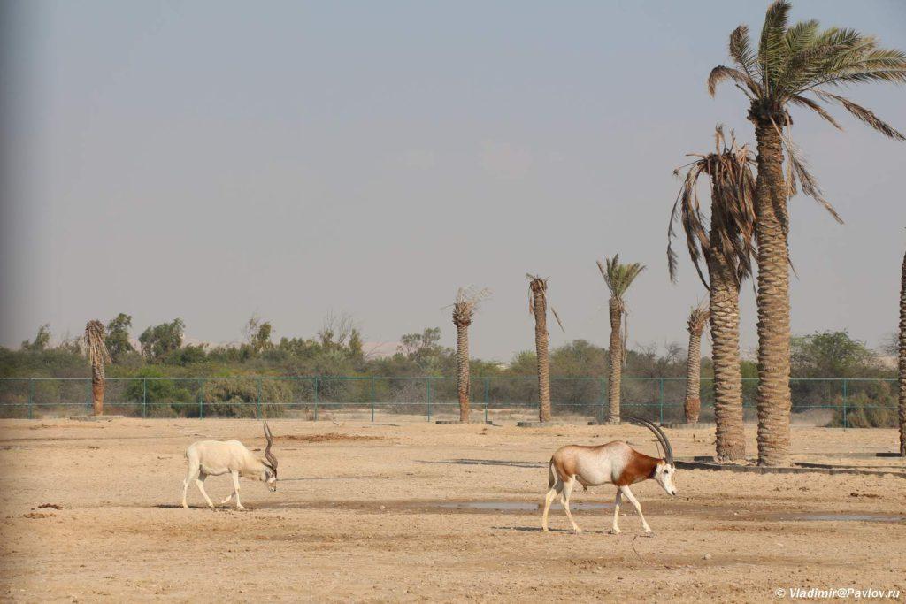 Otlichnye usloviya dlya zhivotnyh. Prirodnyj park Al Ariin. Al Areen Wildlife Park. Bahrain 1024x683 - Парк дикой природы Аль-Арин (Al Areen Wildlife Park) 2. Бахрейнский Зоопарк