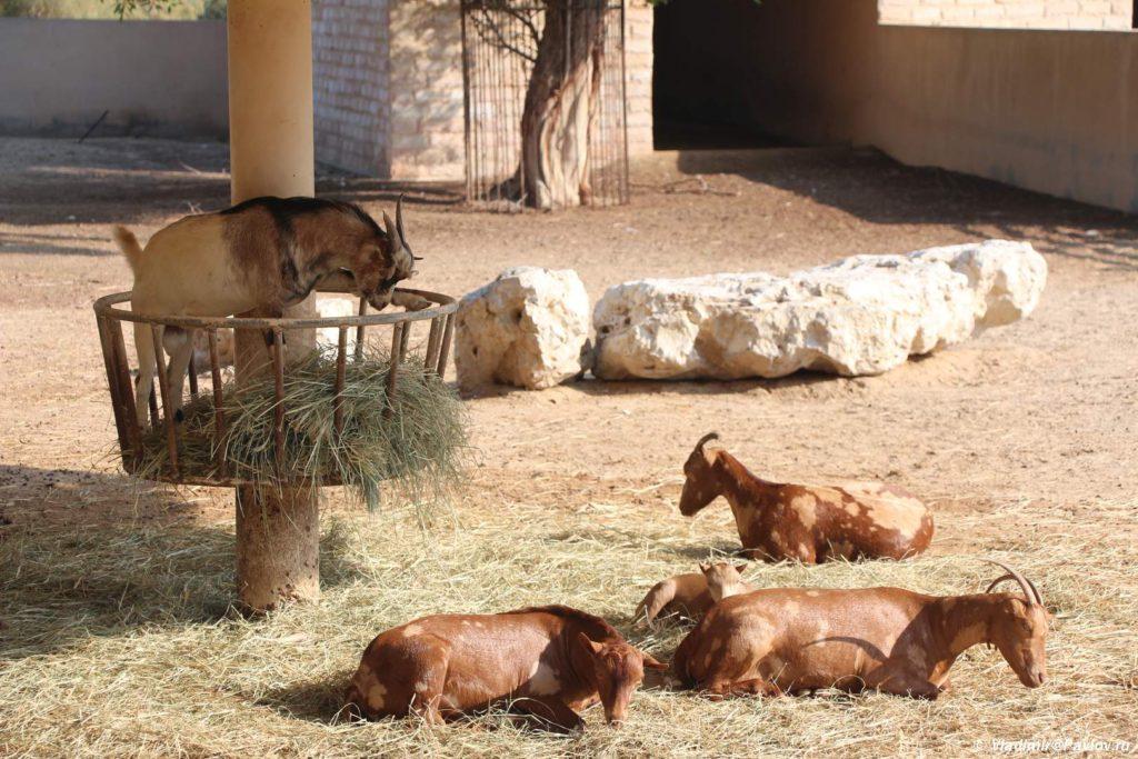 Parnokopytnye v parke Al Arin. Bahrejn. Al Areen Wildlife Park. Bahrain 1024x683 - Парк дикой природы Аль-Арин (Al Areen Wildlife Park) 2. Бахрейнский Зоопарк