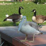 Pelikan poziruet. Prirodnyj park Al Arin. Al Areen Wildlife Park. Bahrain 150x150 - Природный парк Аль-Арин. Al Areen Wildlife Park. Бахрейнский Зоопарк