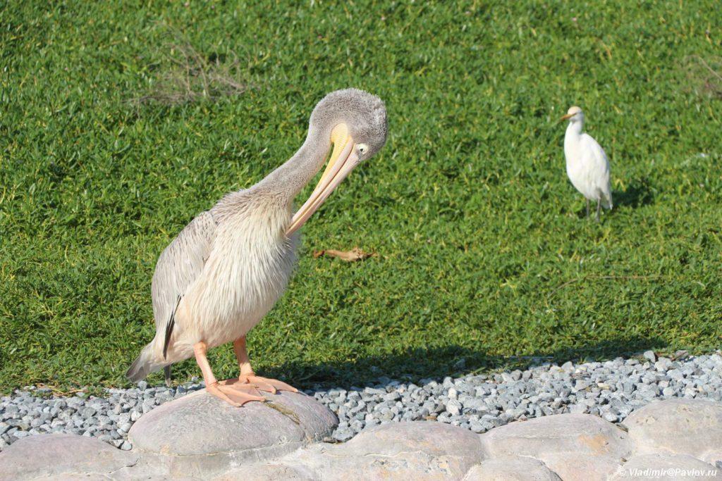 Pelikan. Prirodnyj park Al Arin. Al Areen Wildlife Park. Bahrain 1024x683 - Природный парк Аль-Арин. Al Areen Wildlife Park. Бахрейнский Зоопарк