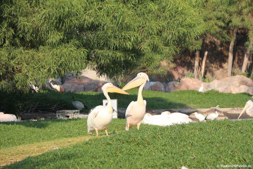 Pelikany. Prirodnyj park Al Ariin. Al Areen Wildlife Park.Bahrejn. Bahrain 1024x683 - Природный парк Аль-Арин. Al Areen Wildlife Park. Бахрейнский Зоопарк