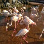 Populyatsiya rozovyh flamingo. Bahrejn. Zoopark Al Arin. Al Areen Wildlife Park. Bahrain 150x150 - Розовые фламинго в Бахрейне. Природный парк Аль-Арин. Al Areen Wildlife Park