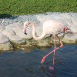 Prirodnyj park Al Arin. Al Areen Wildlife Park. Rozovyj vlamingo. Bahrain 150x150 - Природный парк Аль-Арин. Al Areen Wildlife Park. Бахрейнский Зоопарк