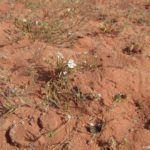Redkaya zelen v pustyne. Iordaniya. Pustynya Vadi Ram. Wadi Rum Jordan 1 150x150 - Каньоны в пустыне Вади Рам (Wadi Rum). Иордания.