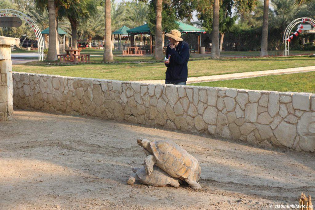Redkij kadr cherepahi smushhayut Piterskuyu intelligentsiyu. Bahrejn 1024x683 - Парк дикой природы Аль-Арин (Al Areen Wildlife Park) 2. Бахрейнский Зоопарк