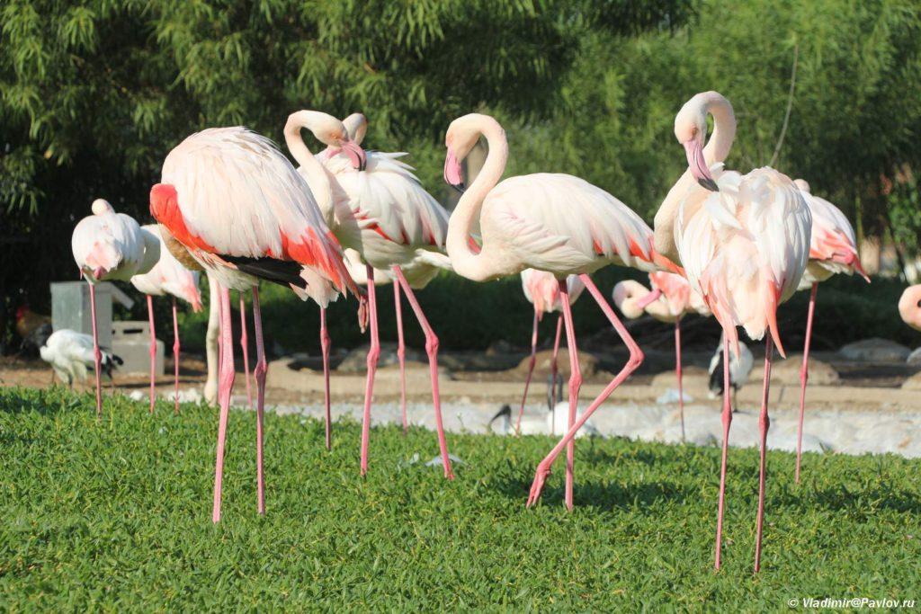 Rozovye flamingo v Prirodnom parke Al Arin. Al Areen Wildlife Park. Bahrain 1024x683 - Природный парк Аль-Арин. Al Areen Wildlife Park. Бахрейнский Зоопарк