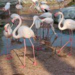 Rozovye flamingo. Prirodnyj park Al Ariin. Al Areen Wildlife Park. Bahrain 150x150 - Розовые фламинго в Бахрейне. Природный парк Аль-Арин. Al Areen Wildlife Park