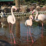Semya rozovyh flamingo. Prirodnyj park Al Arin. Al Areen Wildlife Park. Bahrain 150x150 - Розовые фламинго в Бахрейне. Природный парк Аль-Арин. Al Areen Wildlife Park