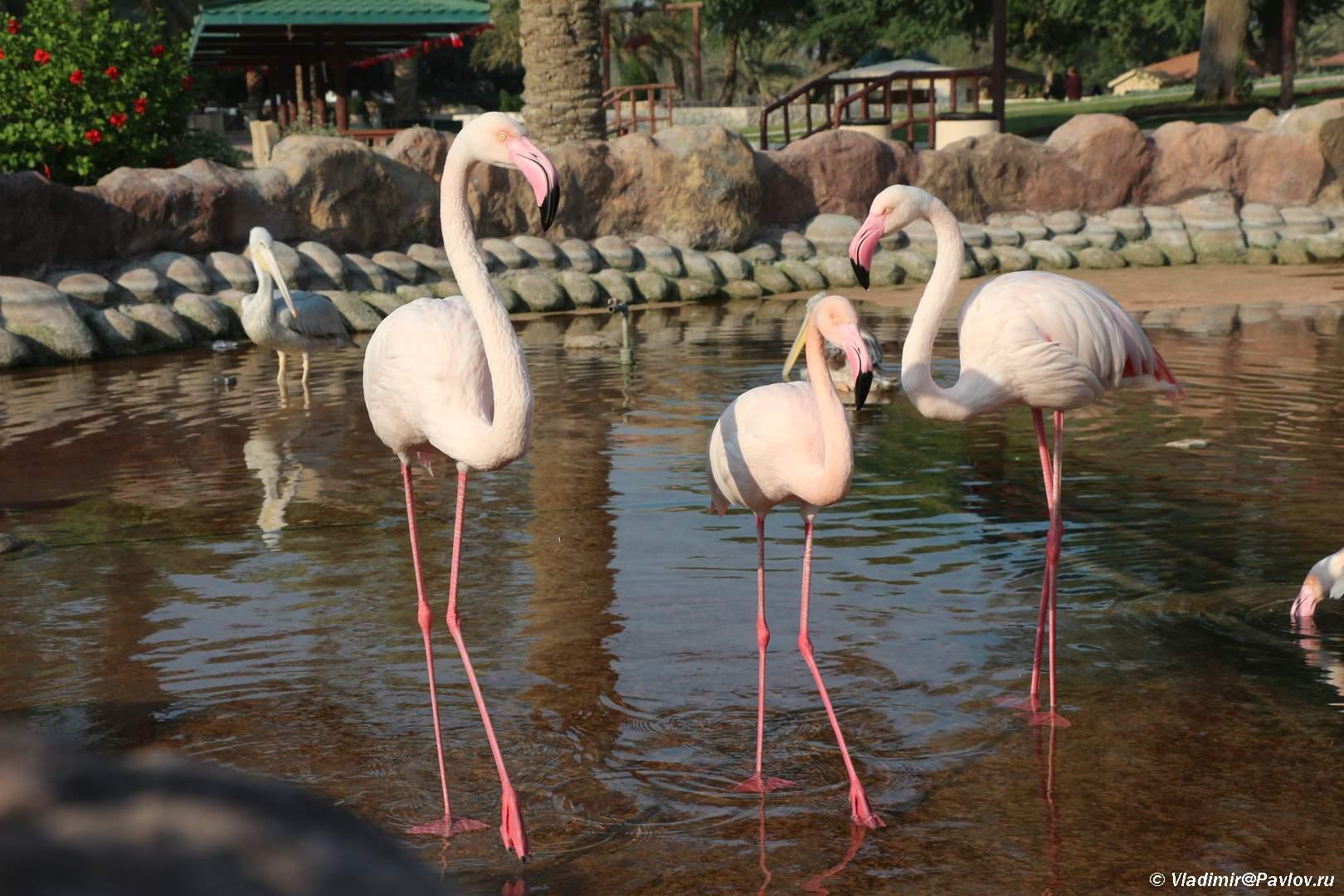 Semya rozovyh flamingo. Prirodnyj park Al Arin. Al Areen Wildlife Park. Bahrain - Розовые фламинго в Бахрейне. Природный парк Аль-Арин. Al Areen Wildlife Park