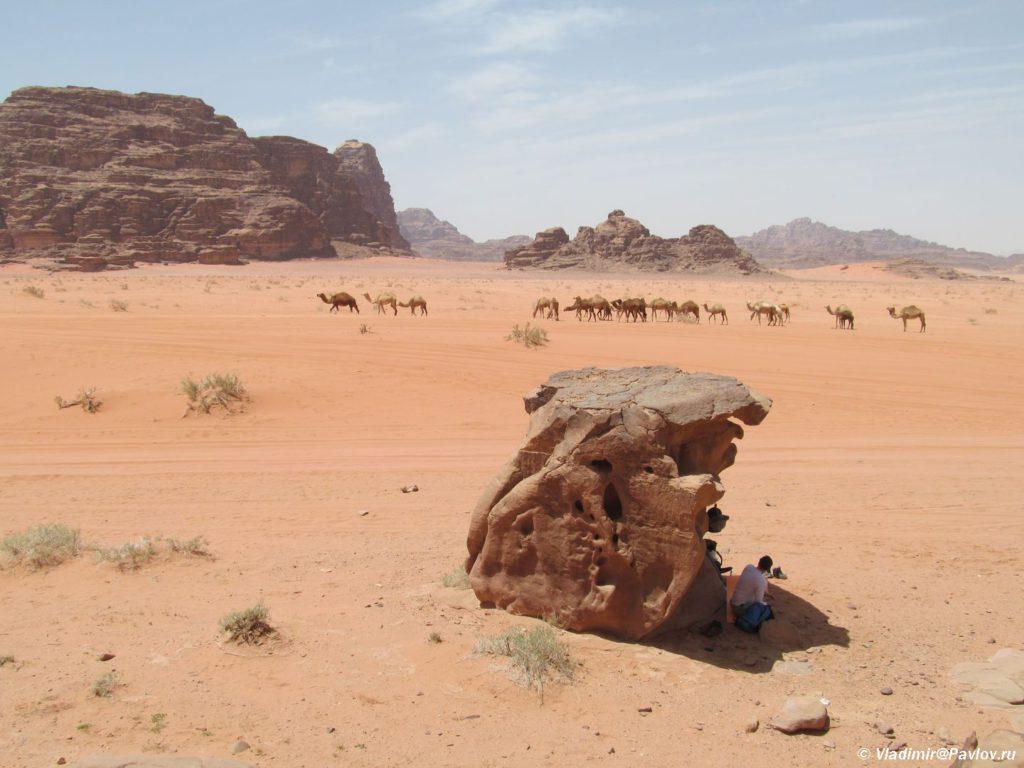 Stado verblyudov prohodit mimo nashego privala v pustyne Vadi Ram Wadi Rum 1024x768 - Самостоятельно в пустыню Вади Рам (Wadi Rum), с палаткой