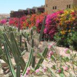 TSvety i kaktusy v rajone Tala Bej Akaba. Iordaniya. Aqaba. Jordan 150x150 - Пляжи Акабы. Тала Бей (Aqaba, Tala Bay). Иордания.