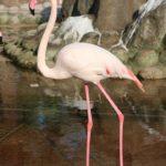 Tolko Rozovyj flamingo ptitsa pereletnaya. Prirodnyj park Al Arin. Al Areen Wildlife Park. Bahrain 150x150 - Розовые фламинго в Бахрейне. Природный парк Аль-Арин. Al Areen Wildlife Park