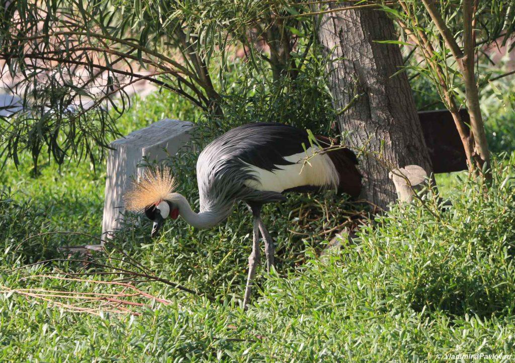 Ventsenosnyj zhuravl. Bahrejn. Prirodnyj park Al Arin. Al Areen Wildlife Park. Bahrain 1024x722 - Природный парк Аль-Арин. Al Areen Wildlife Park. Бахрейнский Зоопарк