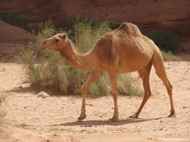 Verblyudy v Iordanii odnogorbye. Katanie na verblyudah organizuyut na sedlah. Iordaniya. Wadi Rum Jordan - Пешком по пустыне Вади Рам (Wadi Rum tracking)