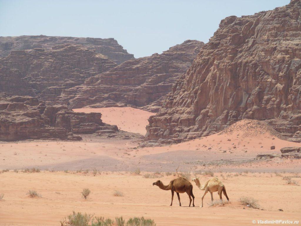 Verblyudy v pustyne Vadi Ram 1024x768 - Виза в Иорданию. Лучшее время для поездки. Подготовка к путешествию.