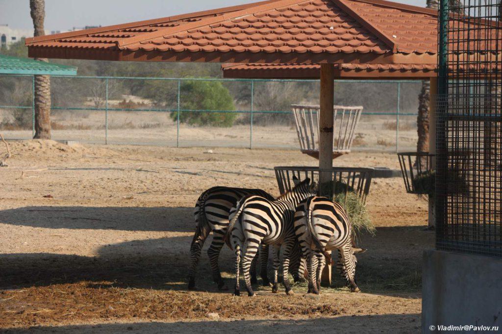 Zebry. Prirodnyj park Al Ariin. Al Areen Wildlife Park.Bahrejn. Bahrain 1024x683 - Парк дикой природы Аль-Арин (Al Areen Wildlife Park) 2. Бахрейнский Зоопарк